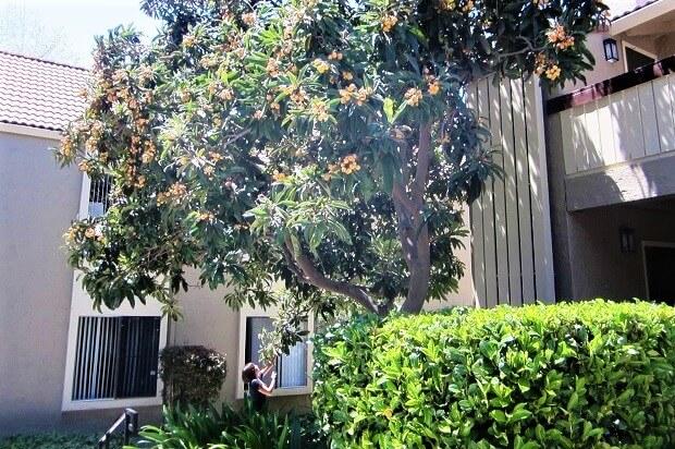Мушмула на территории апартаментов в Калифорнии