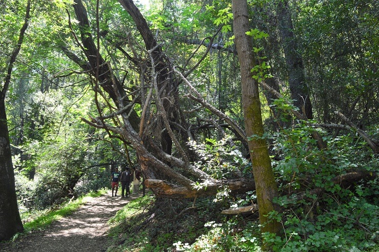 Секвойный лес на Вилле Монтальво