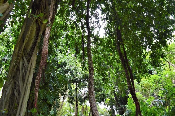 Лианы в ботаническом саду Хантингтона