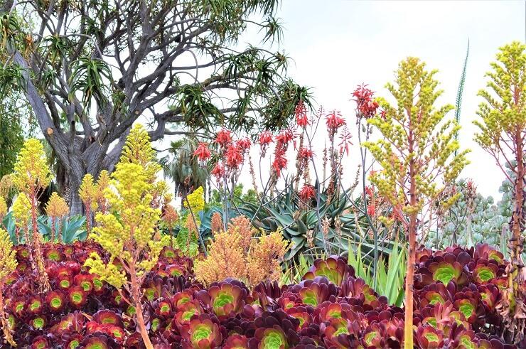 Дерево алоэ в ботаническом саду Хантингтона