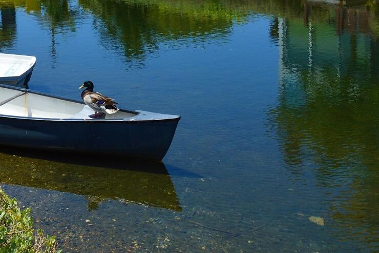 Утка на канале Венис