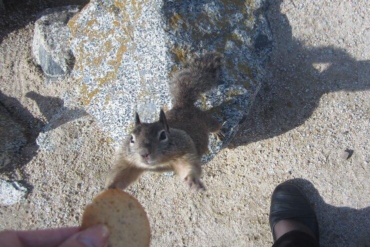 Суслик выпрашивает печенье