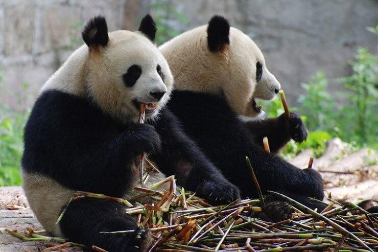 Панды в зоопарке в Сан-Диего