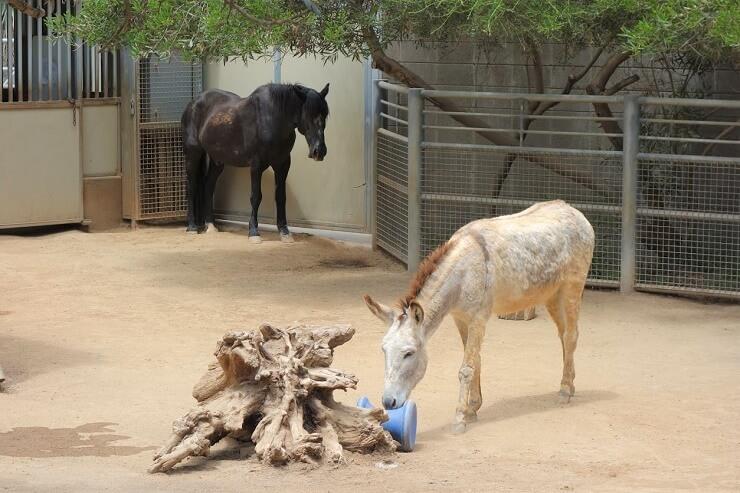 Ослик в зоопарке в Сан-Диего