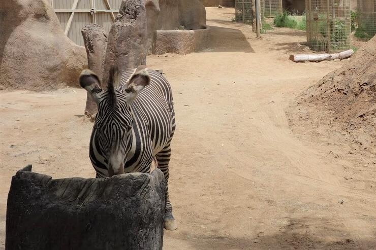 Зебра в зоопарке в Сан-Диего