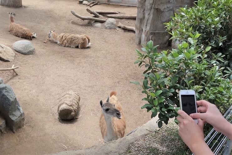 Лама в зоопарке в Сан-Диего