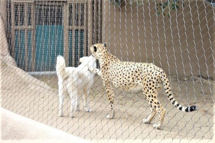 Гепард и собака в зоопарке в Сан-Диего