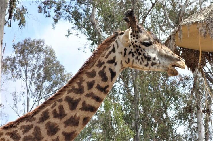 Жираф в зоопарке в Сан-Диего