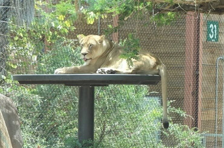 Львица в зоопарке в Сан-Диего