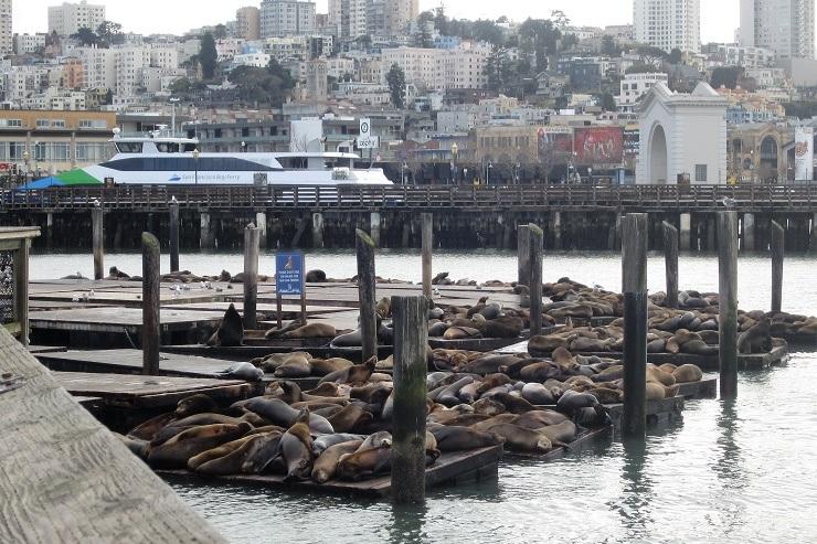 Морские львы у Пирса 39. Сан-Франциско.
